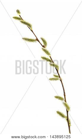 Pussy Willow Buds in early Spring isolated on white