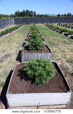 Marijuana Plants growing outdoors