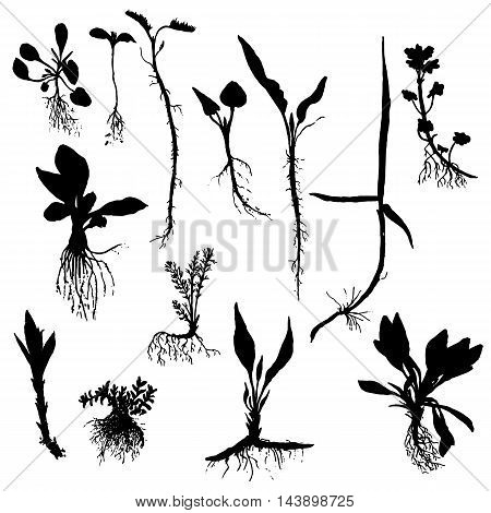 Vector set of wild plants silhouettes with roots and leaves , isolated wild herbs, black monochrome floral elements