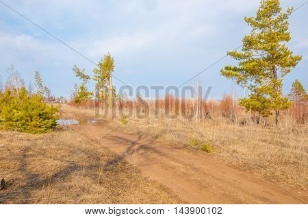 Pines, Country Road In Early Spring In The Forest