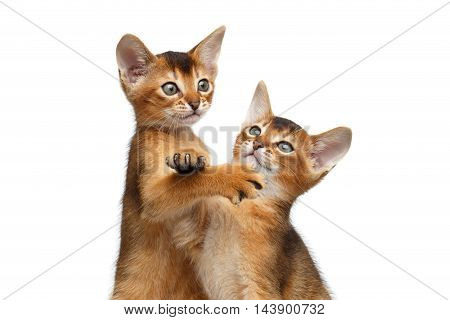 Close-up Two Cute Abyssinian Kitten interesting Looking up, Raising paw on Isolated White Background