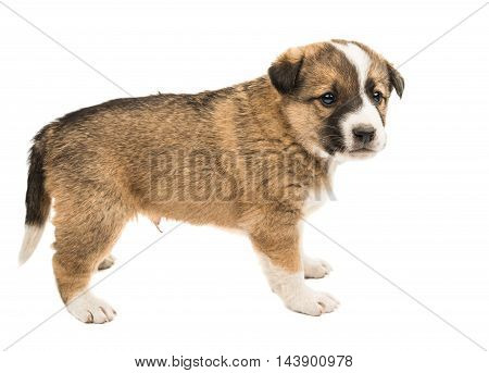 puppy miniature dog isolated on white background