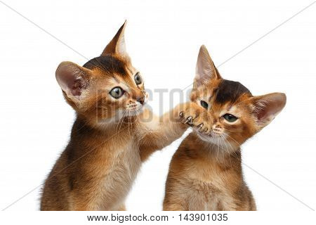 Close-up Two Funny Abyssinian Kitten interesting Looking up, Raising paw to Face like hurt punch on Isolated White Background
