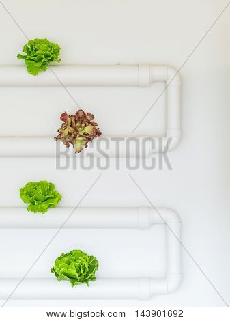 Vegetables hydroponics Red Oak Green Oak in the pipeline a white background.