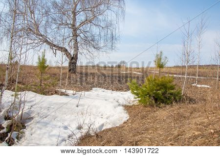 Shallow Ravine, The Old Snow, Early Spring, Birch And Pine, Young,