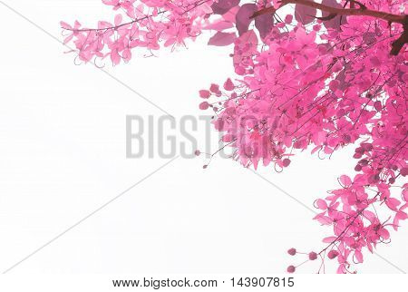 pink flower on white background.beautiful, beauty,spring, nature.