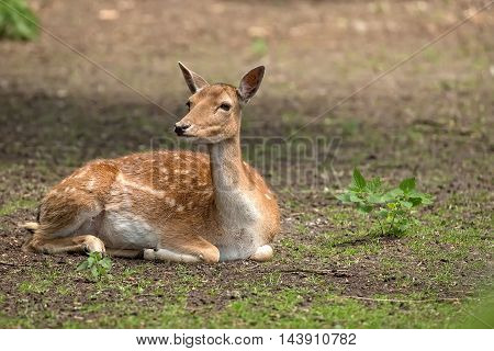 Fallow deer resting in the wild in the forest