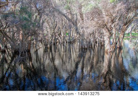 Unique paper bark tree reflections in the wetland waters at the wildlife reserve Herdsman Lake in Western Australia.