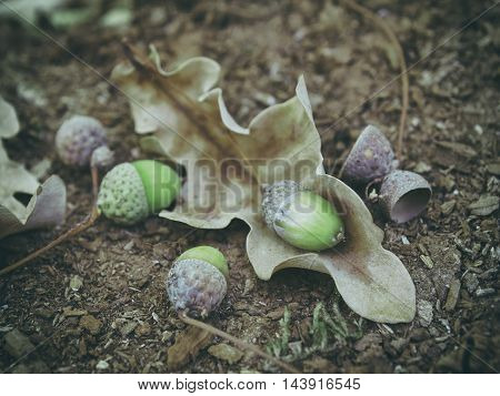 Oak Acorn And Dry Leaf