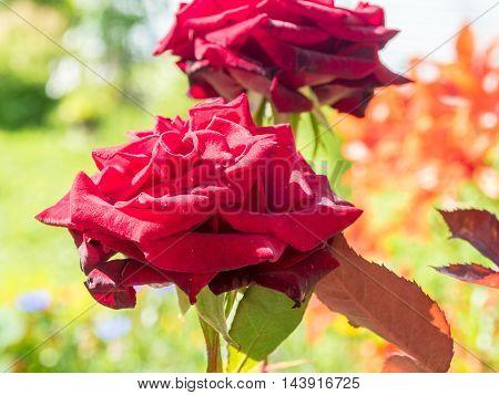 Scarlet On A Bush