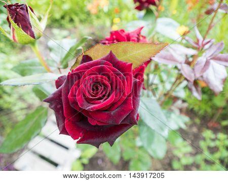 Scarlet Rose On A Bush