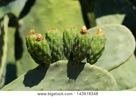 Cactus prickly pear opuntia with unripe fruits