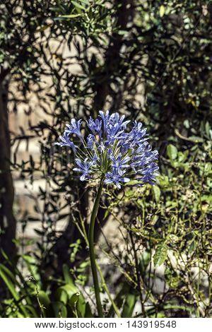 big compound indigo flower (agapanthus) outdoor closeup
