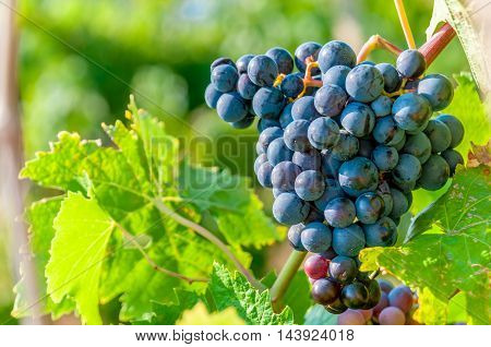 Sweet and tasty blue grape bunch on the vine with copyspace