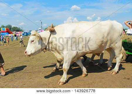 Velyki Sorochyntsi -August 20, 2016:Card with oxen during Sorochintsy Fair in Velyki Sorochyntsi, Ukraine