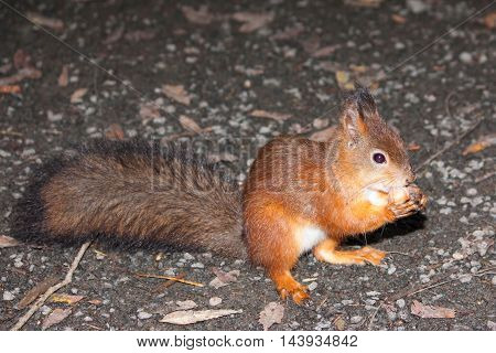 Red Squirrel Gnaws Nut In A Forest