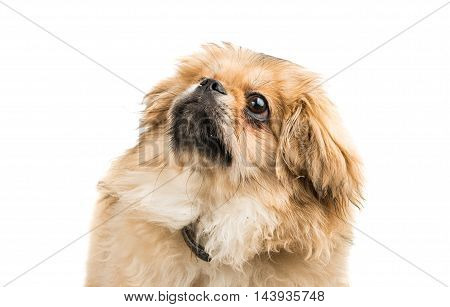 small Pekingese portrait on a white background