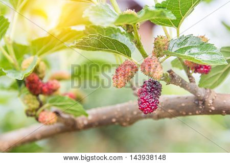 Red mulberry fruit on tree Berry is healthy food.