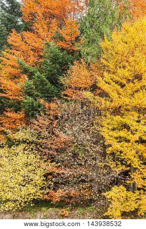 Autumn forest as background mixture of coniferous and deciduous trees with brightly colored autumn leaves