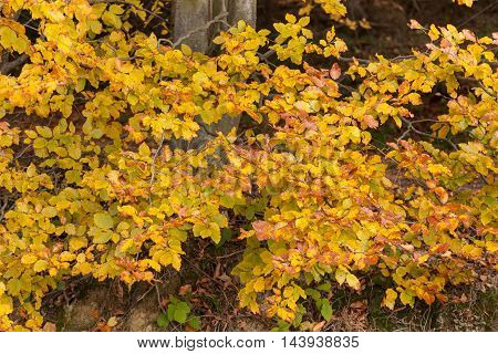Yellow autumn leaves on branch tree autumn background