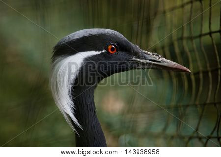 Demoiselle crane (Anthropoides virgo), also known as the blue crane. Wildlife bird.
