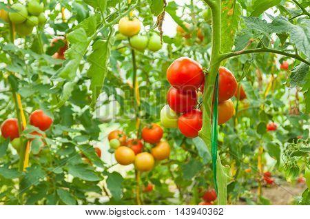 Eco Greenhouse Garden Full Of Ripen Organic Tomatoes
