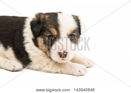 puppy dog isolated on a white background