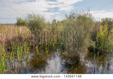 Marshland plants, reed and grasses in the freshwater wetland reserve at Herdsman Lake in Western Australia.