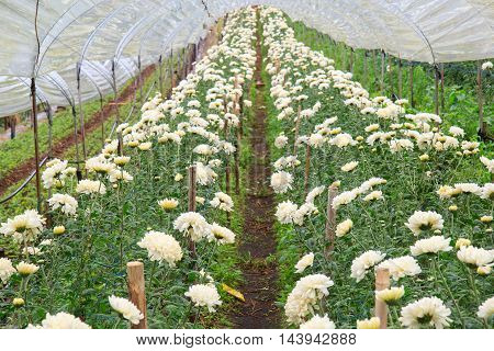 Chrysanthemum farm at Doi Inthanon National park in Chiang Mai Province Asia Thailand