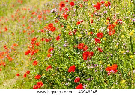 Wild poppies growing on rough ground in Spain.