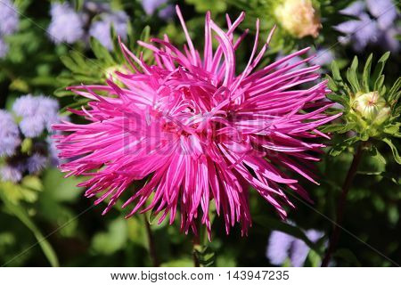Pink aster autumn flowers over green background