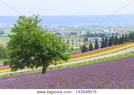 Lavender and colorful flower fields at Tomita farm famous tourist attraction of Furano Hokkaido.