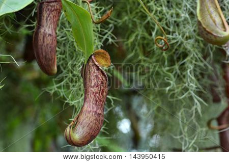 Nepenthes Villosa, Monkey Pitcher Plant
