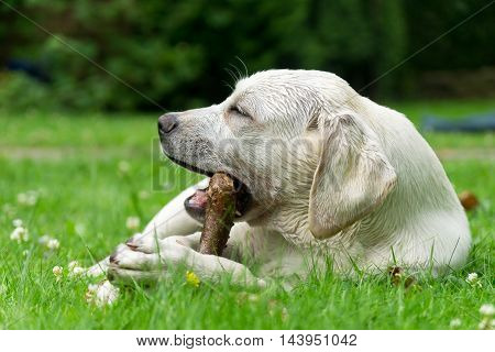 Sweet cute labrador dog puppy lying on a green meadow and chewing on a branch stick