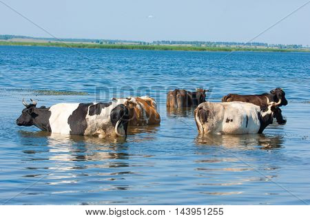 A Herd Of Cows On The Watering Place, Summer Hot Day