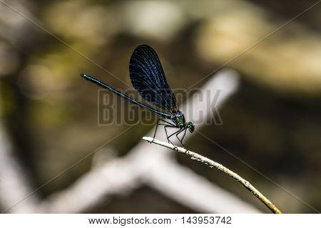 Small emerald green dragonfly outdoor macro closeup