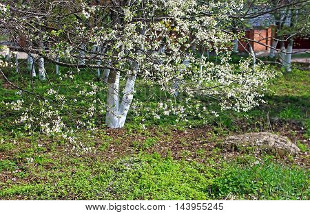 Spring time in a park - blooming cherry tree and bright green grass