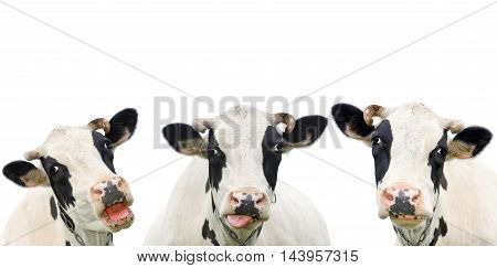 Three funny cow isolated on a white background. Portrait of three cute cows. Group of cows talk to each other