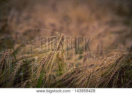 Fresh dew on a barley plant in prince edward island