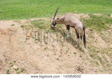 Taxidermy mount of an African Oryx or Gemsbok