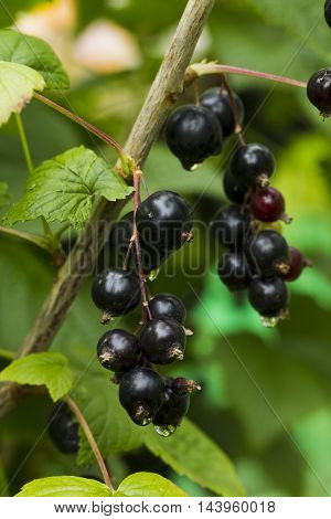 Berries Of Black Currant With Raindrops