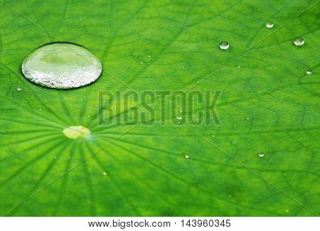 Dew Drop In A Lotus Leaf