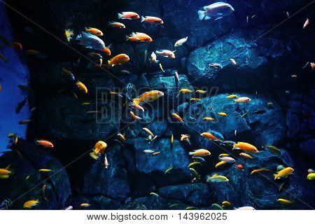 flock of bright orange fish on pofne stones , blue, yellow, orange , underwater, fish , nature