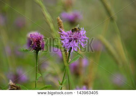 Bee in flower bee amazing,honeybee pollinated of flower