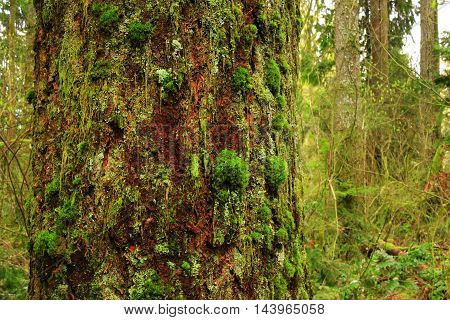 a picture of an exterior Pacific Northwest forest with a  old growth mossy Western red cedar tree