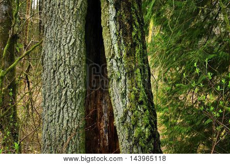 a picture of an exterior Pacific Northwest forest with a mossy old growth Douglas fir tree