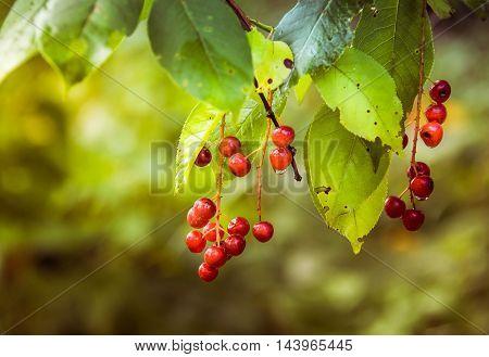 Red Viburnum berries in autumn . .