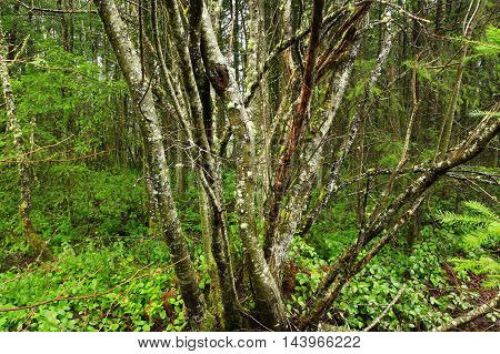 a picture of an exterior Pacific Northwest forest with a mossy Pacific willow tree