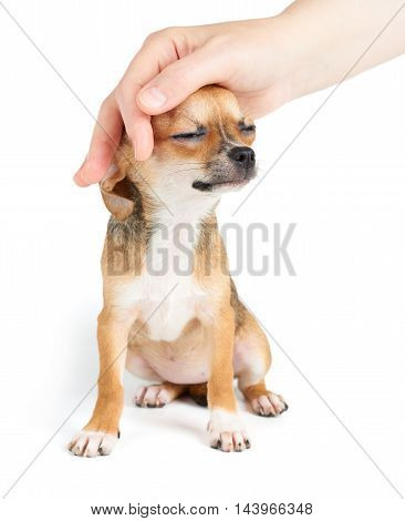 Woman's hand strokes head of Chihuahua puppy