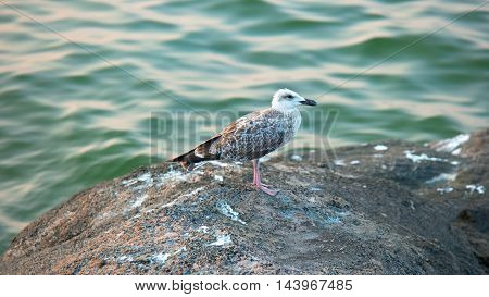 Seagull Standing on Rock side view in front of green sea water